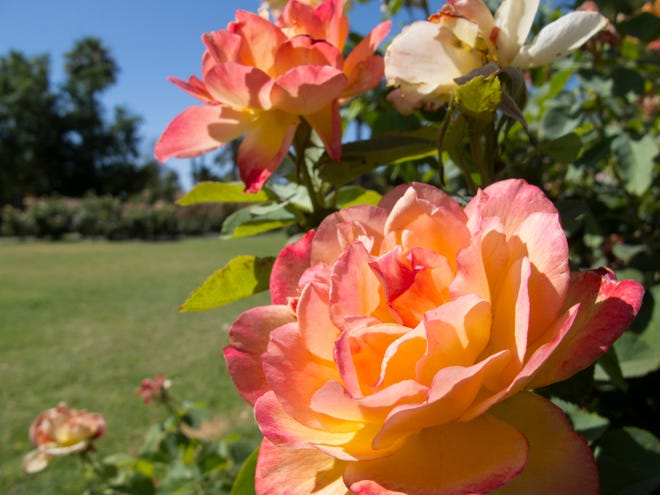 The Valley Garden Center Rose Garden at Encanto Park in central Phoenix was first planted in the 1940s and now features about 400 rosebushes planted between grass walkways.