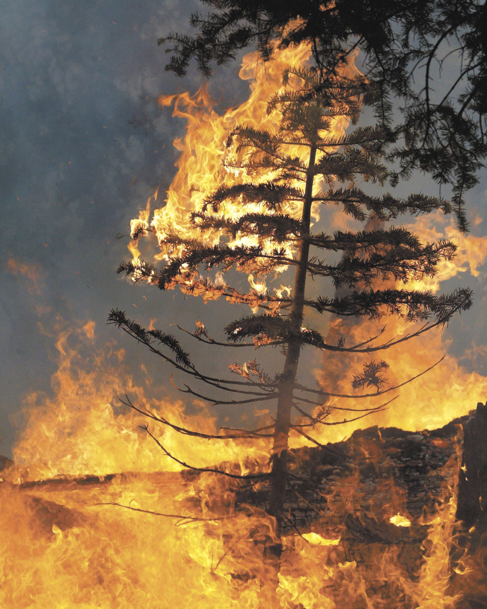 A sapling bursts into flame at the top of Angora Ridge in South Lake Tahoe, Calif. on Monday evening, June 25, 2007, as the Angora Fire continued to burn. Efforts to tame the wildfire that has destroyed some 200 homes near Lake Tahoe suffered a setback Tuesday when a backfire set by firefighters to control the blaze jumped a fireline, forcing a new round of evacuations, authorities said.(AP Photo/Tahoe Daily Tribune, Dan Thrift)
