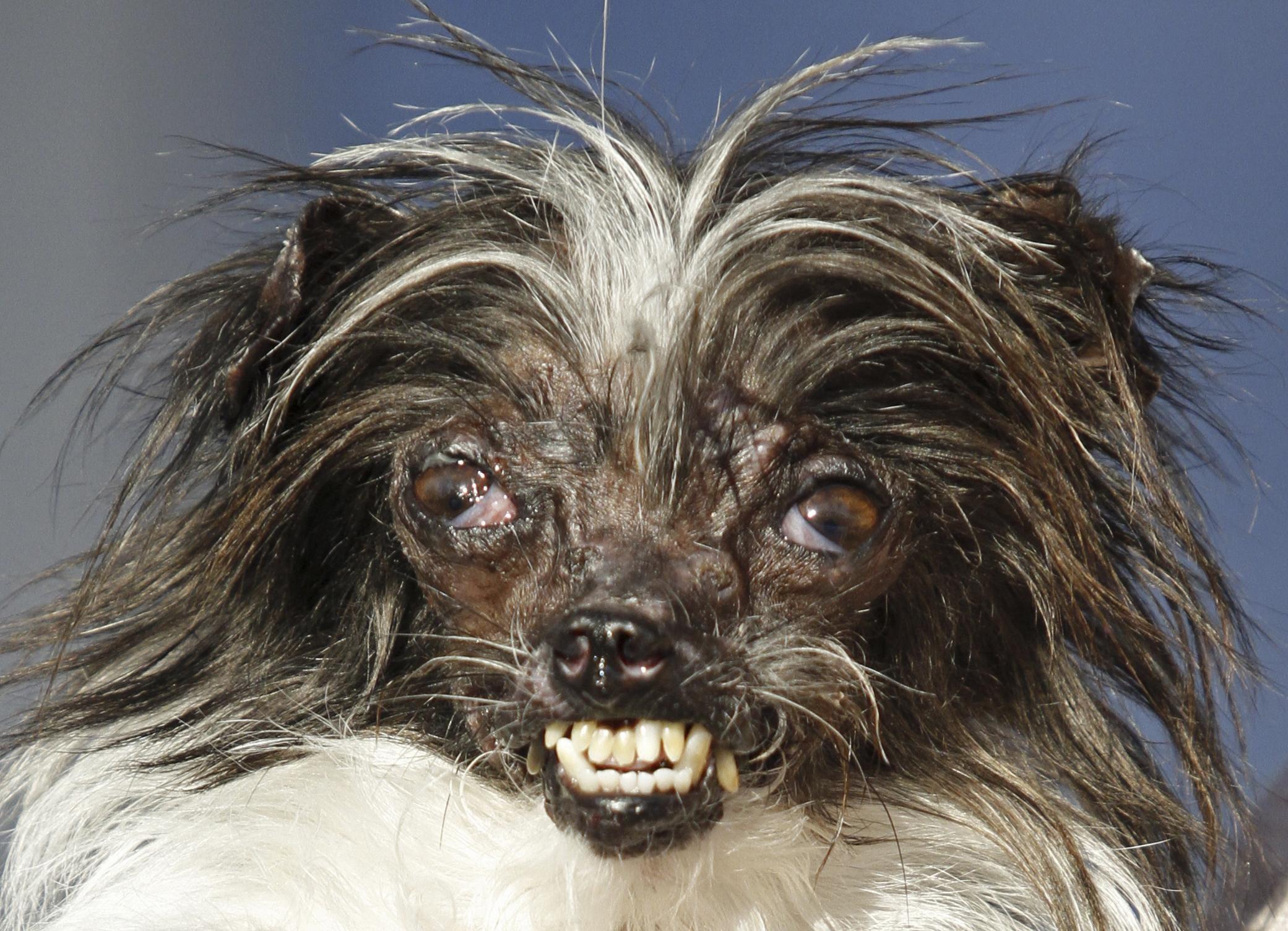 World's Ugliest Dog Contest awards inner beauty