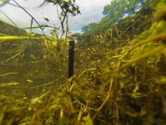 A Des Moines Register photo of curly-leaf pondweed in East Okoboji Lake in Iowa from 2017.