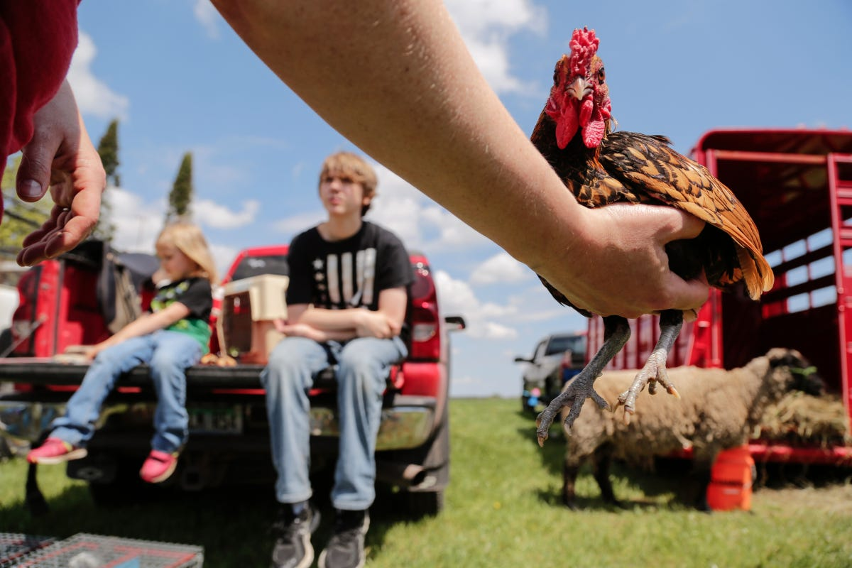 Quirky U P  animal swap keeps rural traditions alive