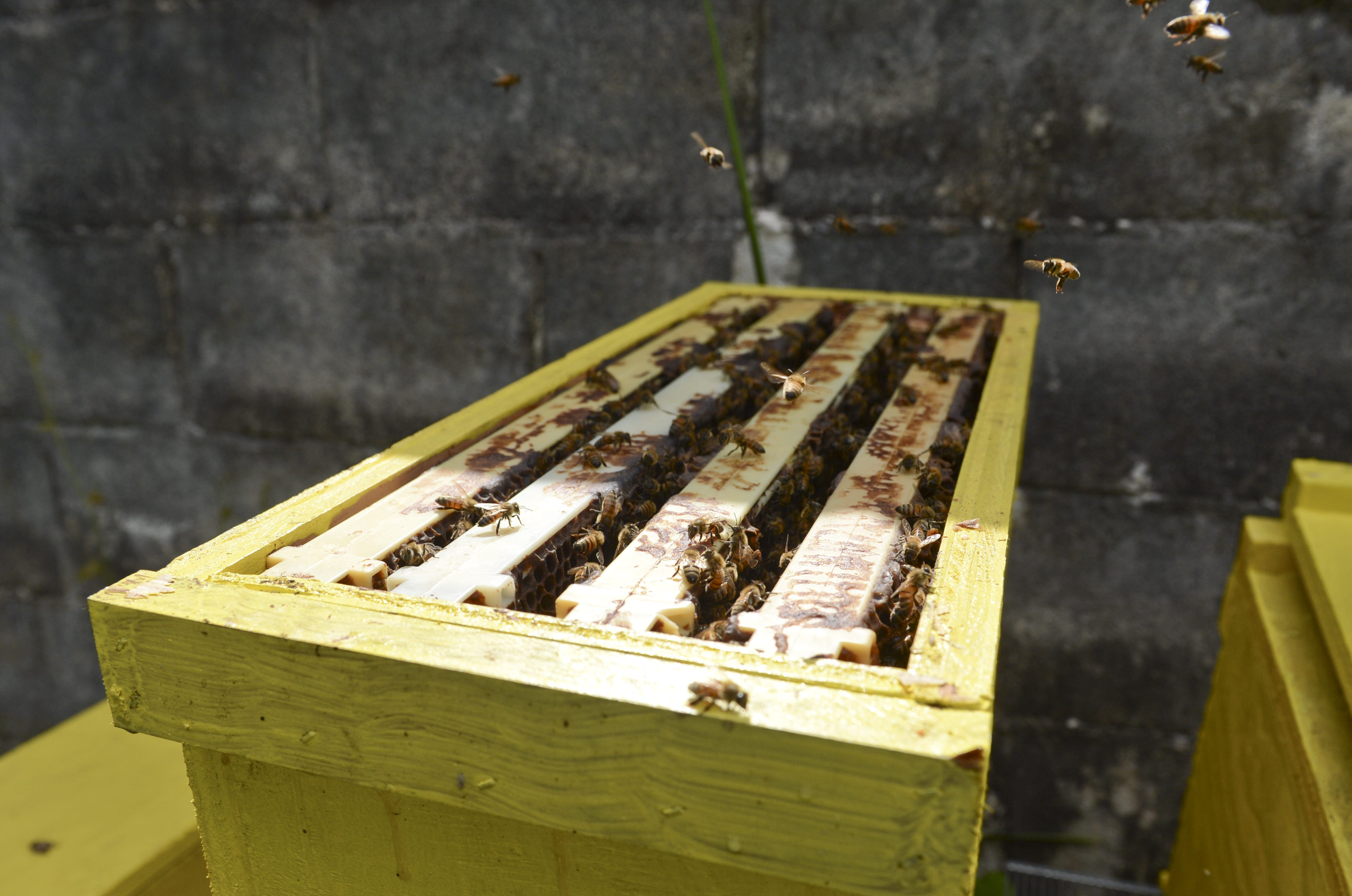 In this 2013 file photo, honey-producing bees hover about uncovered movable comb hives.