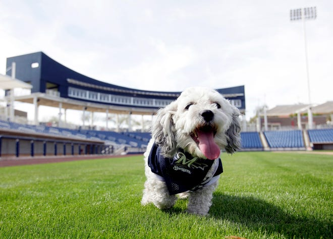 In this Feb. 22, 2014, photo, Milwaukee Brewers mascot, Hank, is at the team's spring training baseball practice in Phoenix. The team has unofficially adopted the dog and assigned the name Hank after baseball great Hank Aaron.