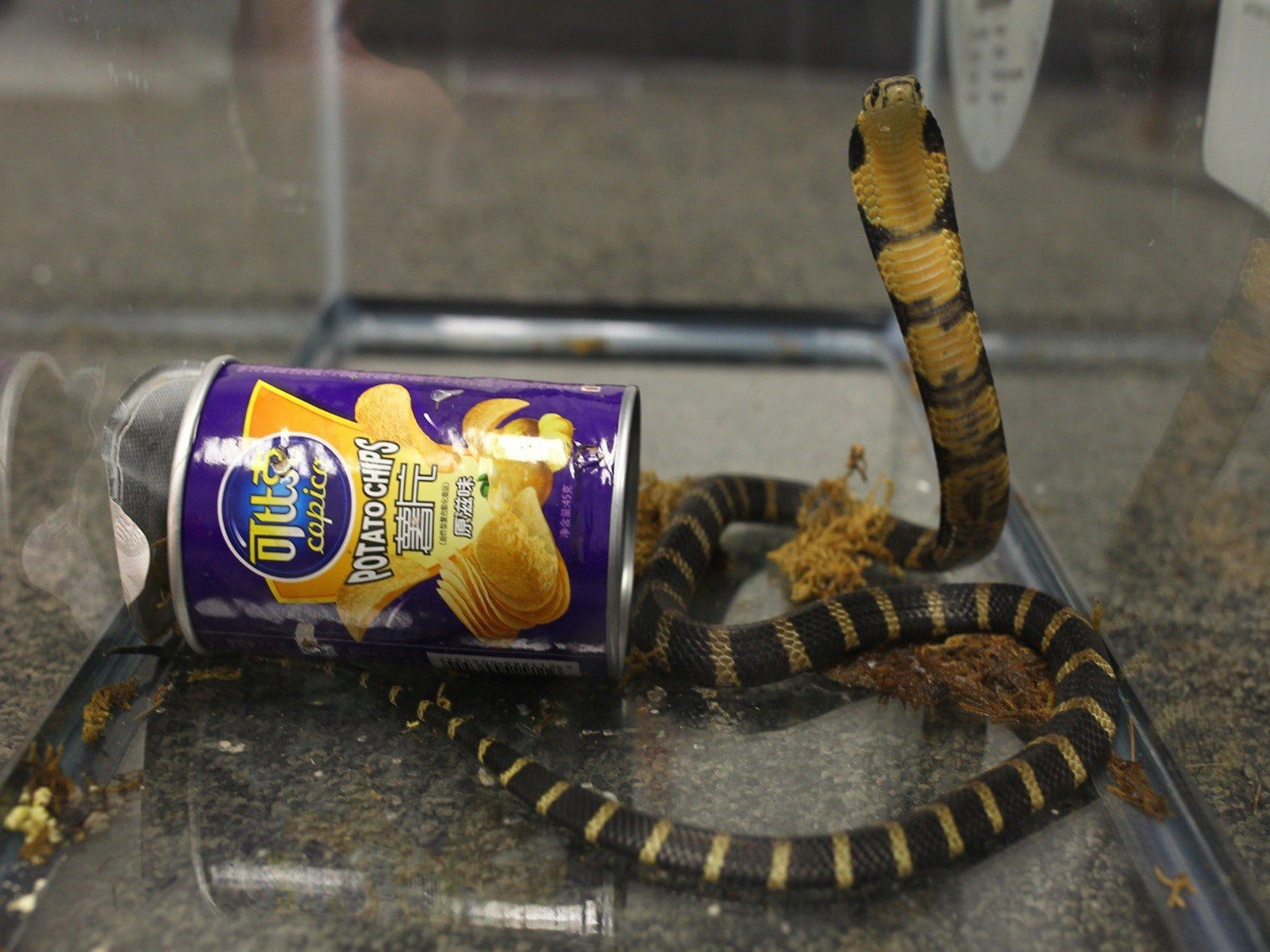 King cobras coiled in potato chip cans lead authorities to tanks of illegal reptiles in California