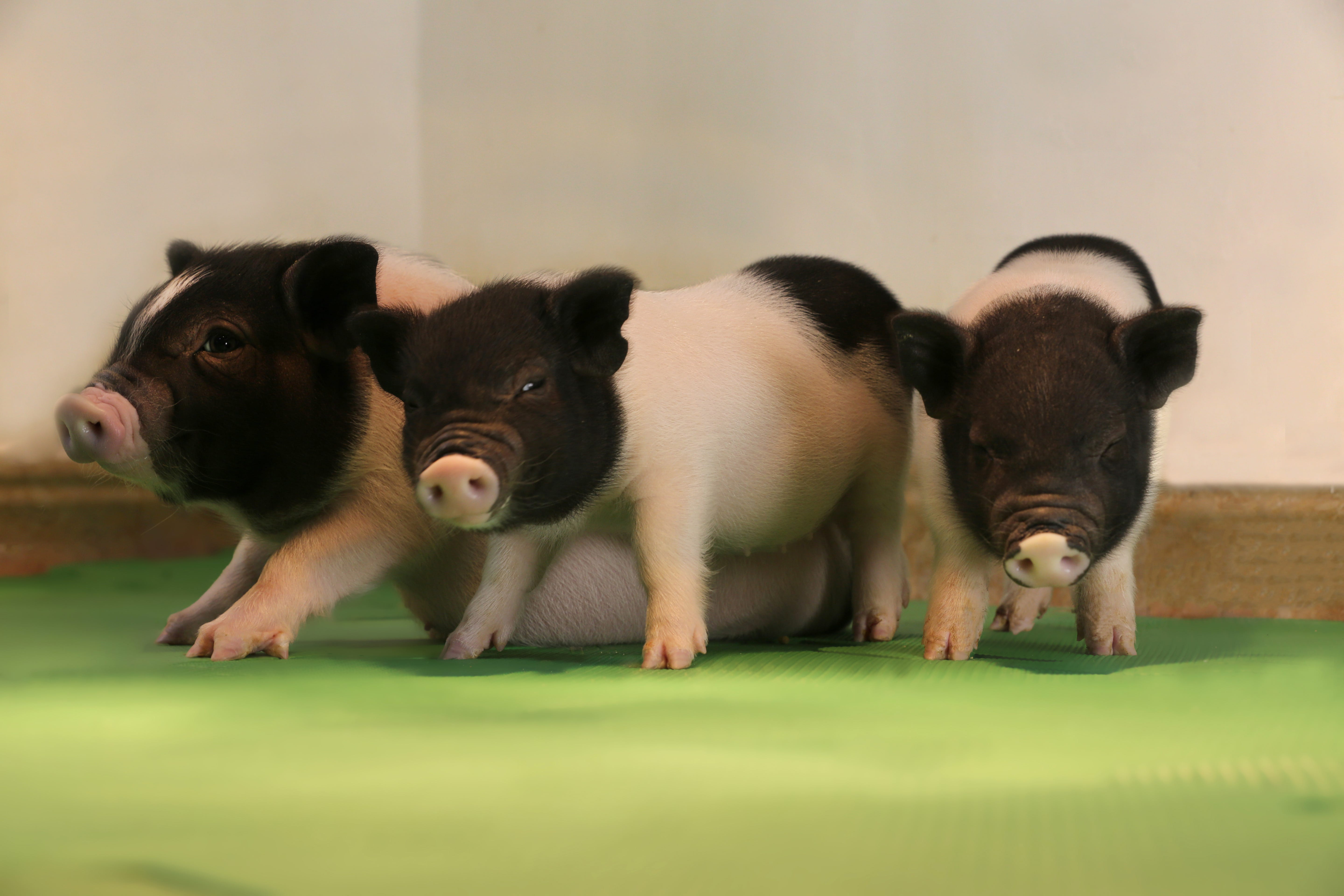 Scientists closer to using pig organs in humans, working on 'Pig 2.0'