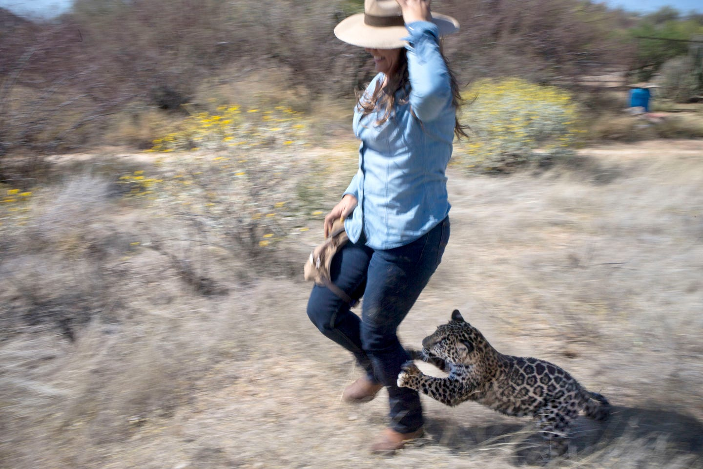 3cdfb0e852 A rare cat: Tutu'uli, a 6-month-old female jaguar, chases handler Shandira  Astrid at the Ecological Center of Sonora in Mexico. Experts say a border  wall ...