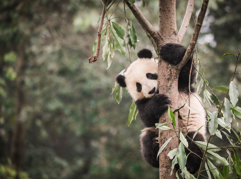 Viral video: Girl gets stuck inside panda enclosure, pandas mind their own business
