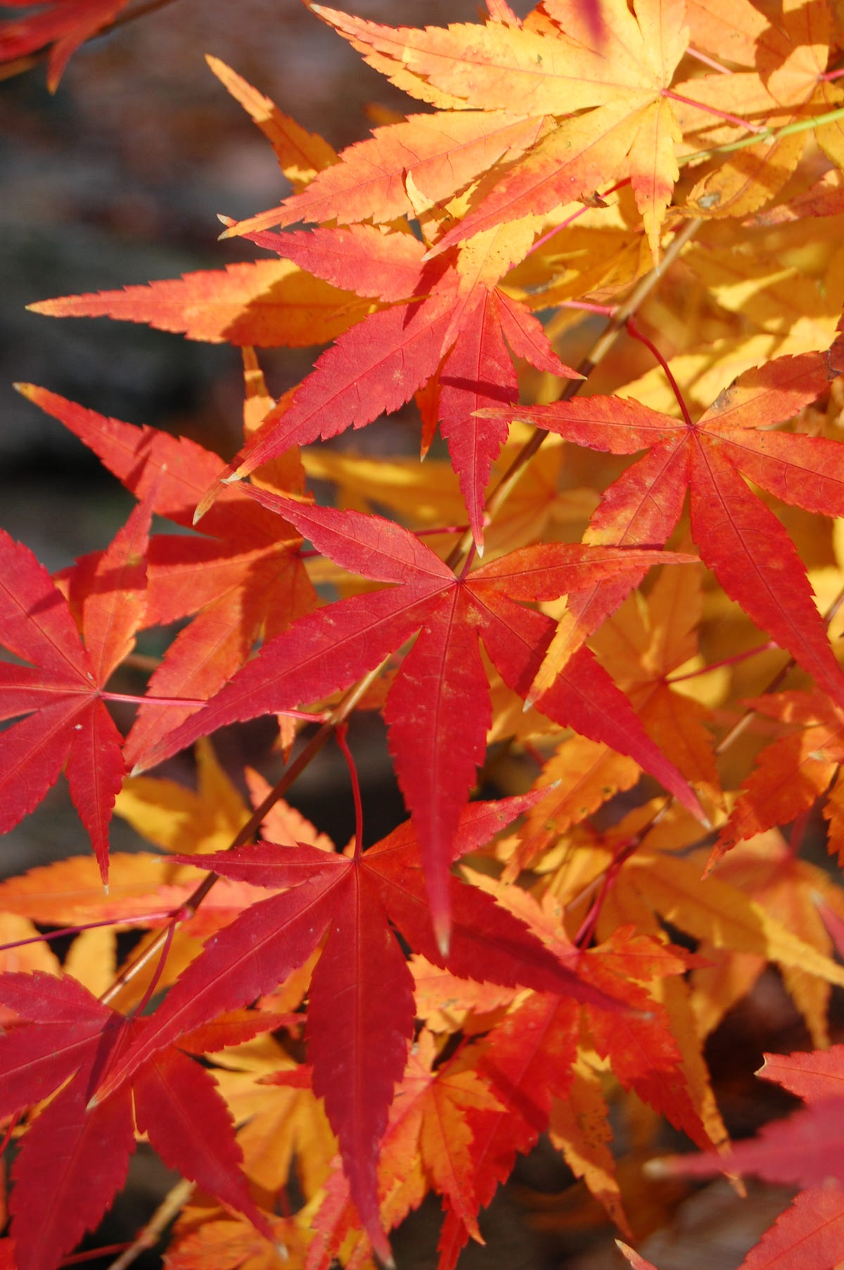 78ac31a88 Maples lead the fall leaf color lineup in Kentucky