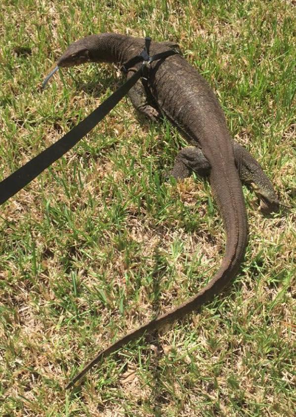 Ksdk Com 6 Foot Pet Asian Water Lizard Escapes Into