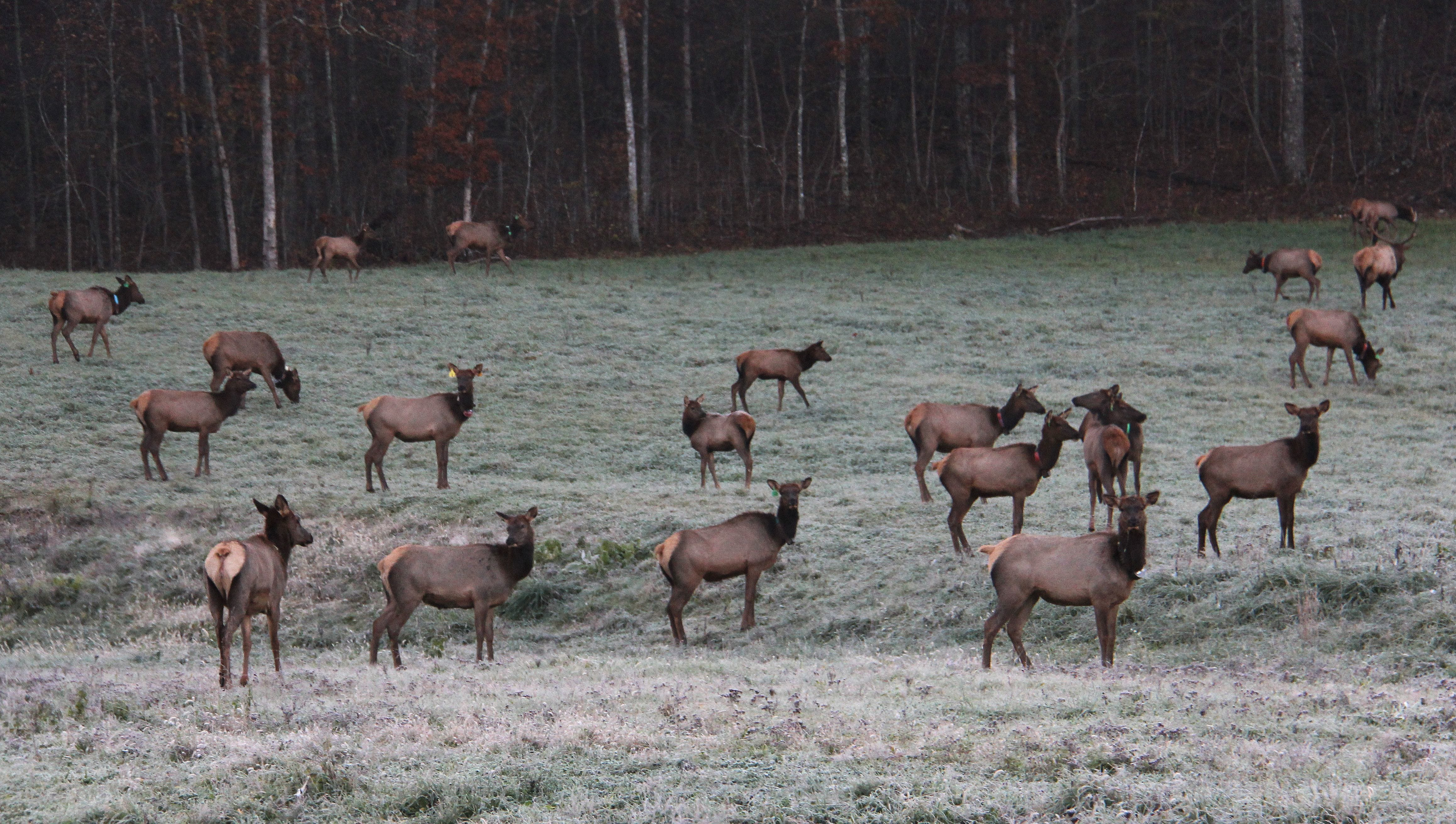 The Conservation Department reintroduced elk to Missouri's Peck Ranch in southeast Missouri in 2011
