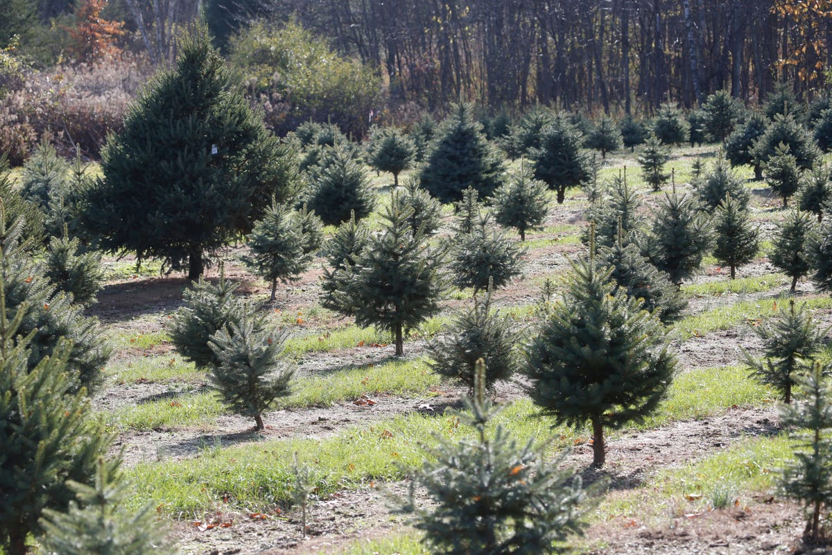 National Christmas tree shortage not an issue in New York