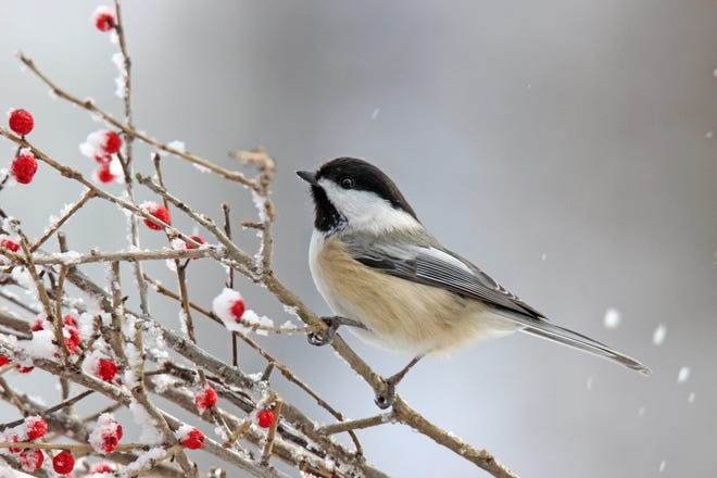 Some smaller birds, including chickadees, will sometimes chase away large birds, including hawks and ravens, while protecting their nests and young.