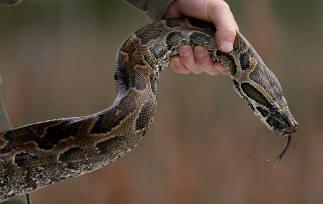 The South Florida Water Management District's Python Elimination Program removed the 1000th Burmese python this past weekend, and at 11 a.m. Tuesday, viewers can watch the weigh-in of the snake live on the water district's Facebook page.
