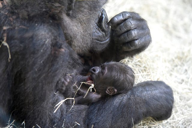 Zoo Knoxville Western Lowland gorilla Hope tends to her six day old newborn Wednesday June 3, 2015. Another female gorilla, Machi, gave birth to the second baby gorilla born at the Zoo in the past week. (AMY SMOTHERMAN BURGESS/NEWS SENTINEL)