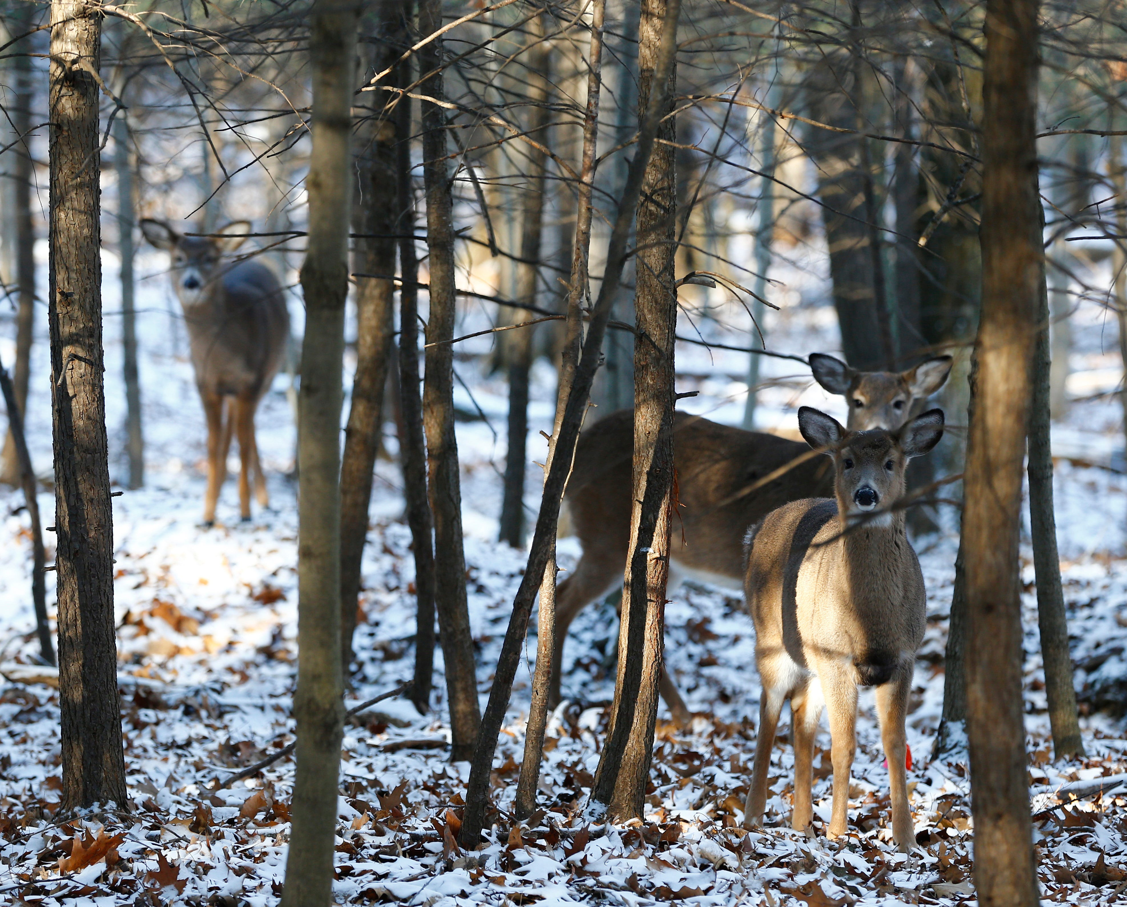 Binghamton University in New York set to kill up to 50 deer on campus in bowhunt