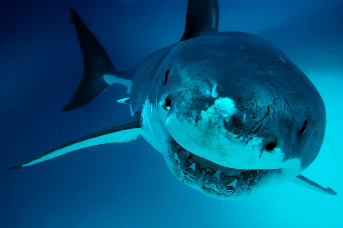 Deep Blue: Giant great white shark may have been spotted