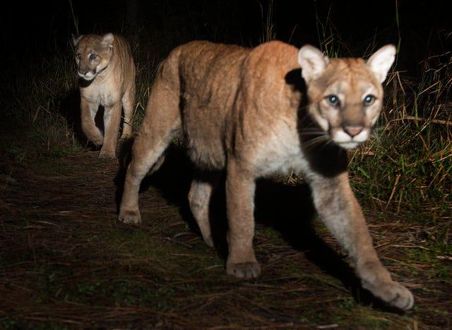 A pair of Florida panthers light up photographer's camera