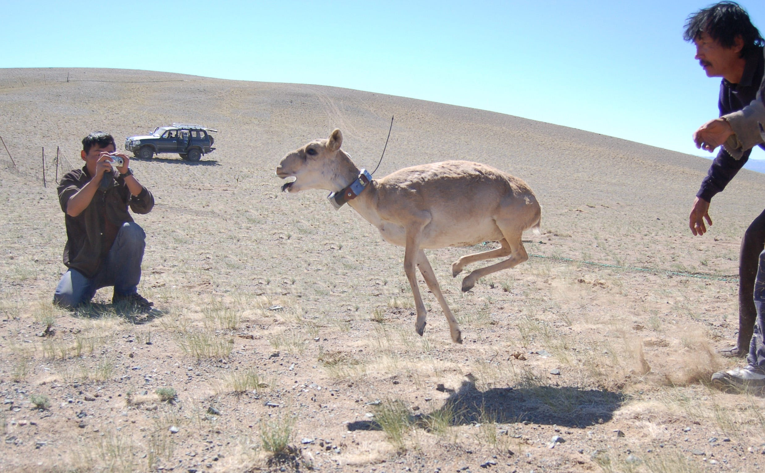 In 2015, 200,000 endangered antelope dropped dead in Kazakhstan. This is what killed them