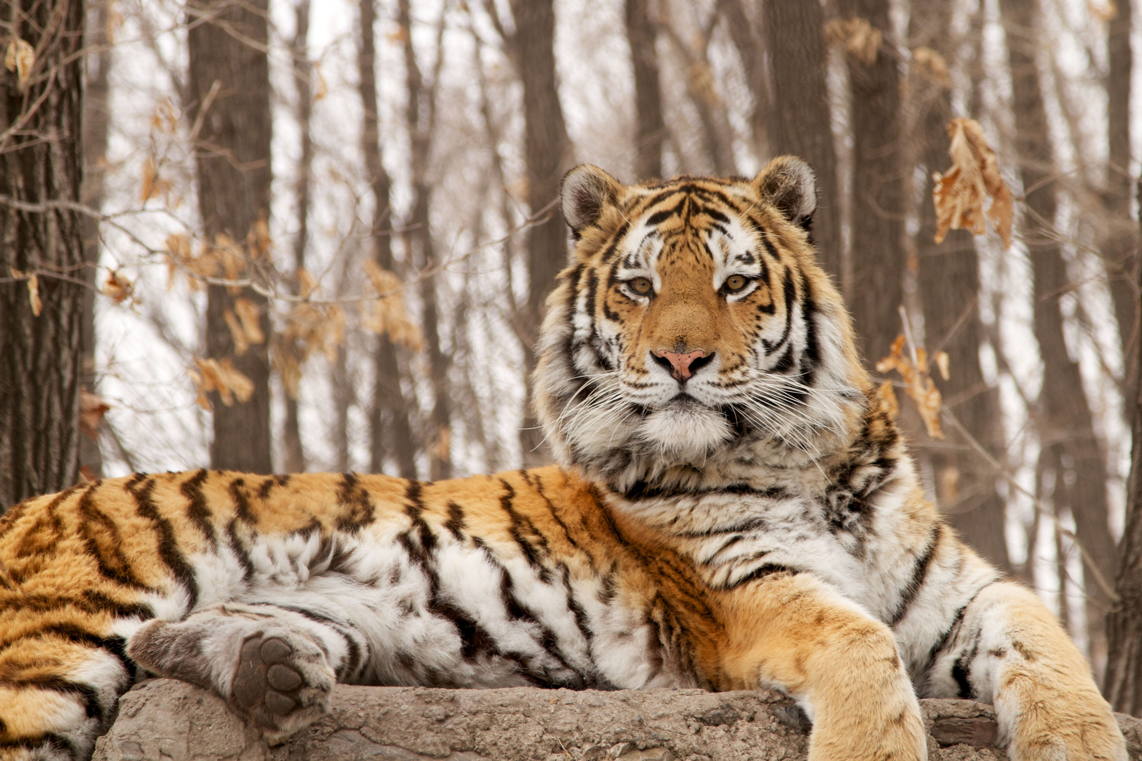 stuff the tigers Introduction to tigers tigers are terrestrial mammals that belong to the genus panthera a classification that groups the five species of big cats: lions, jaguars, leopards, snow leopards, and tigers.