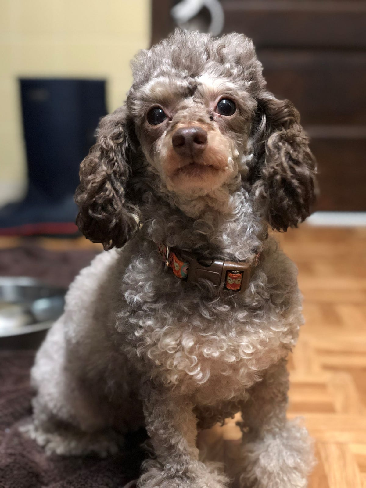 Doggy psychics called after poodle rescued from puppy mill