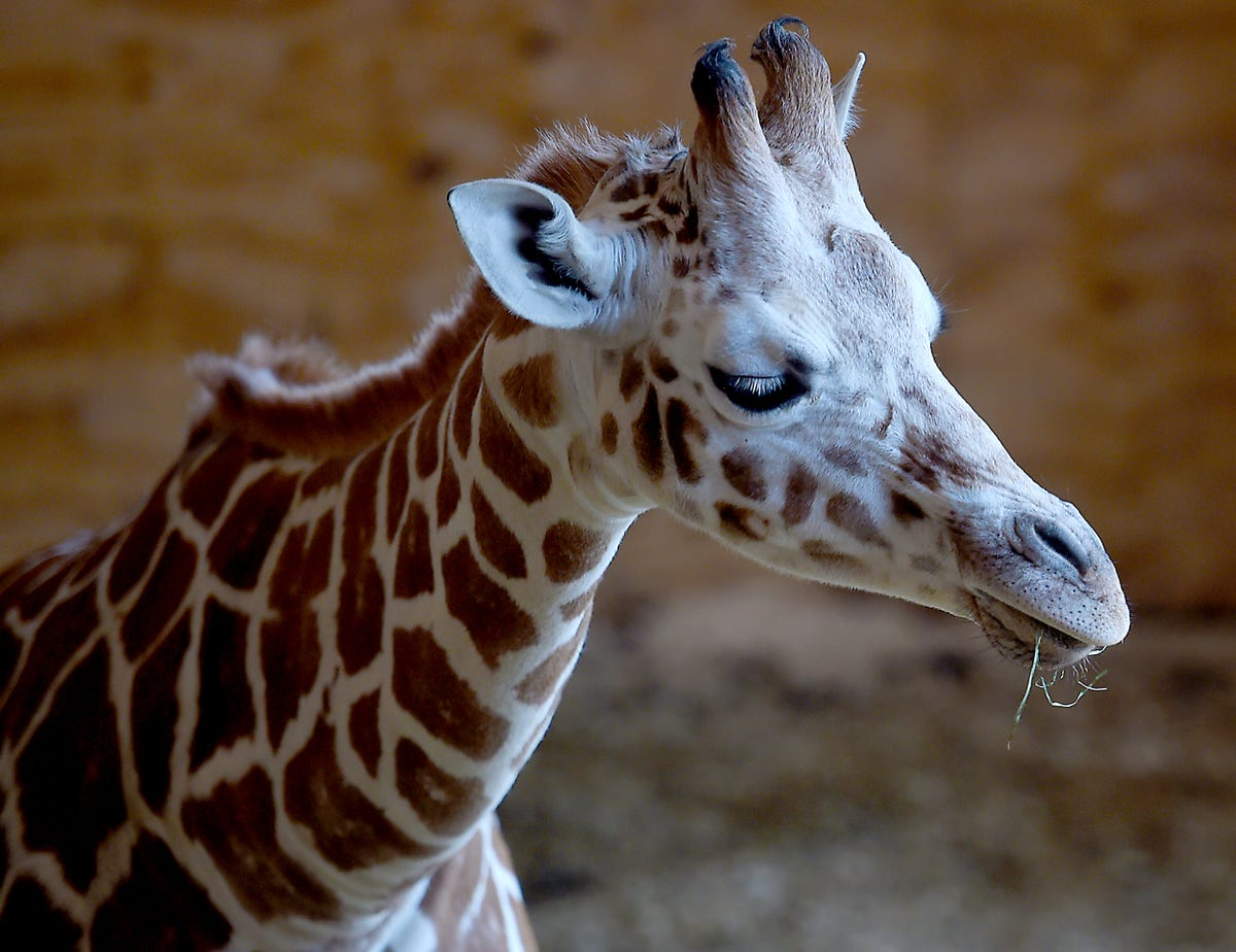 9aa2db82304 April the giraffe pregnant again: Animal Adventure expecting 2019 calf