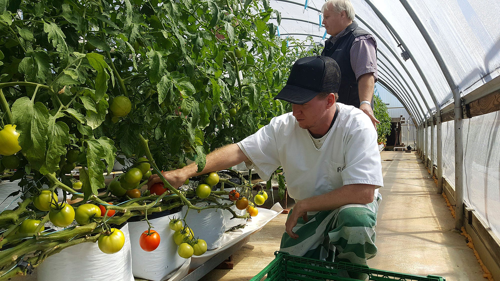 Mississippi inmates harvesting 300 pounds of tomatoes a week   Clarion Ledger