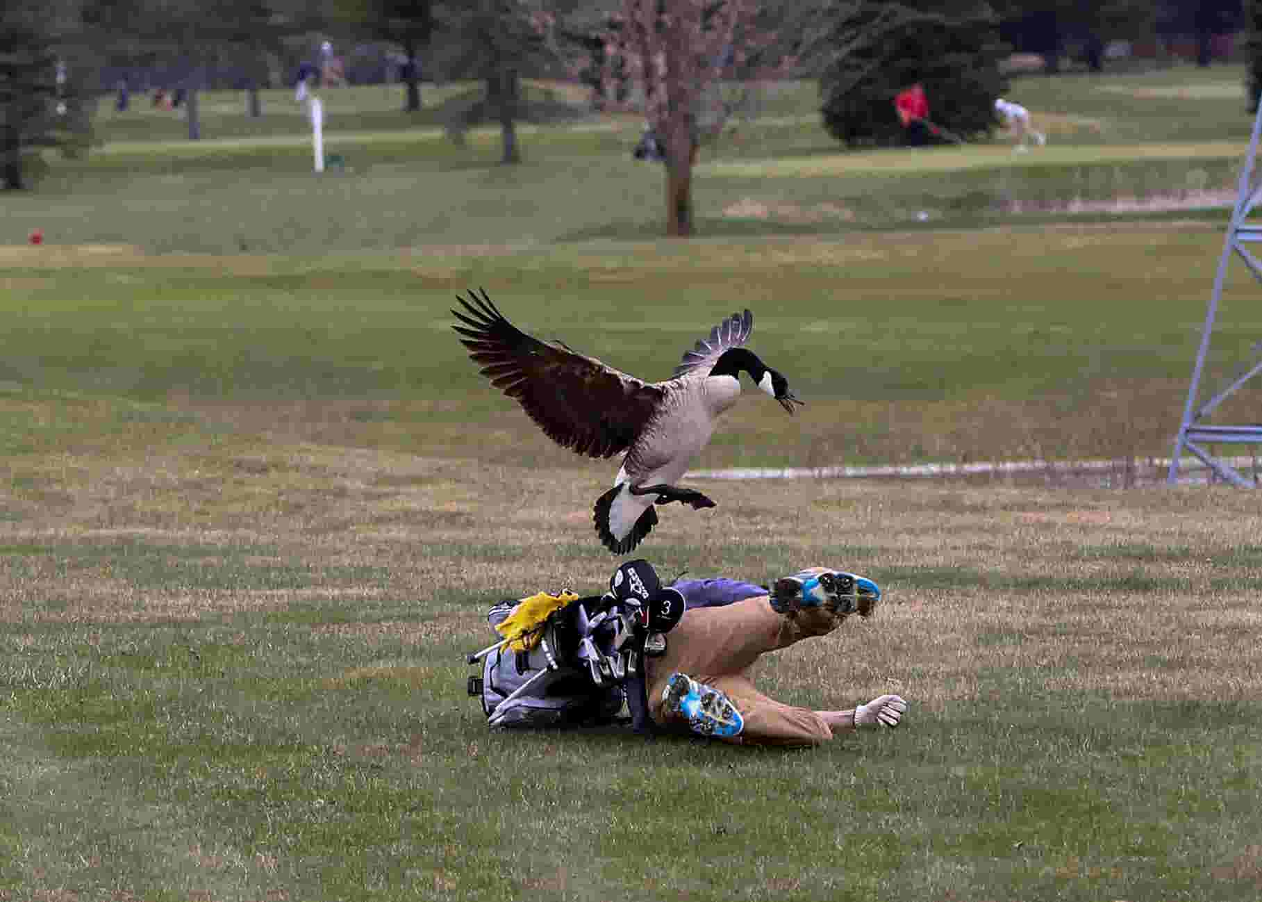 high school golfer attacked by angry goose