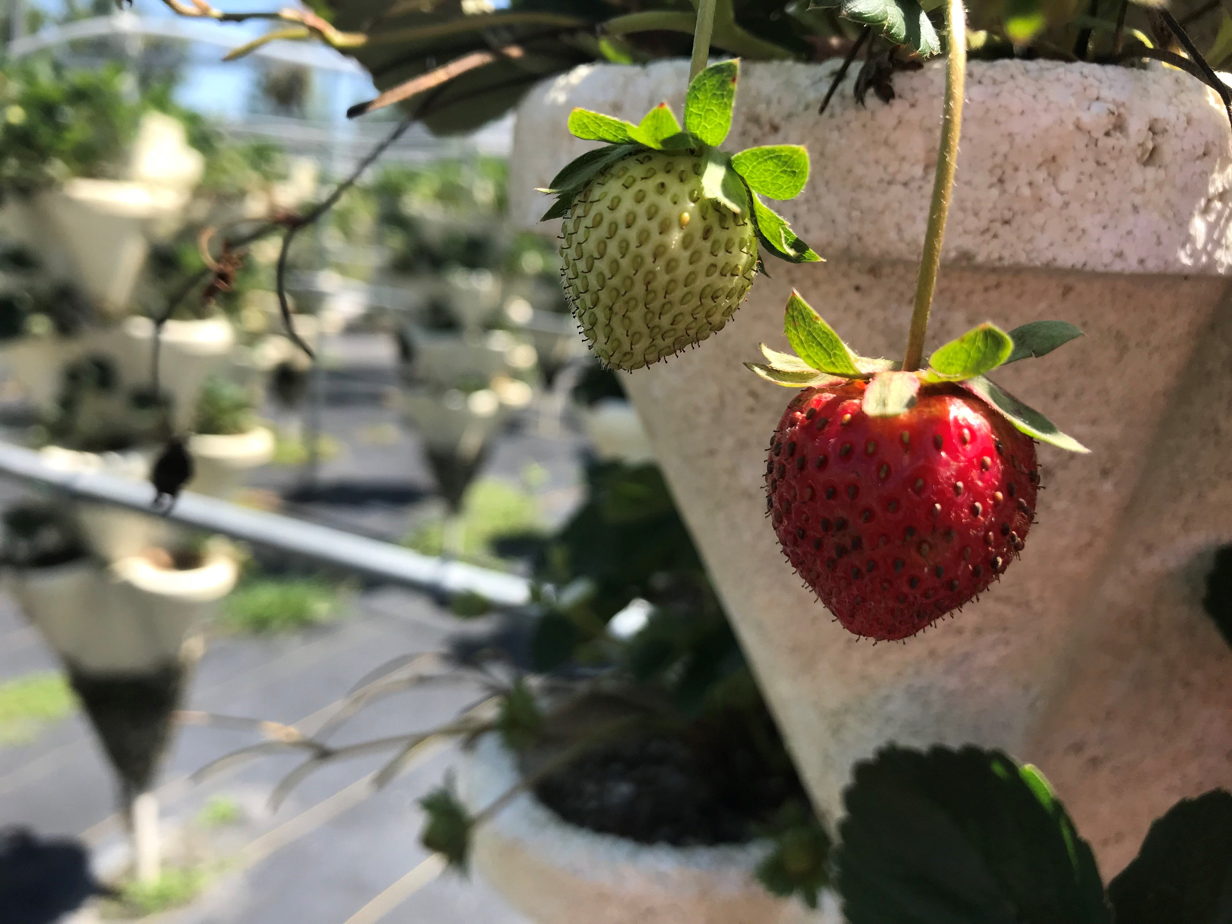 636607000812673292-MJStrawberry Melbourne hydroponic farm lets you pick, cook and eat your vegetables on the spot
