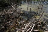 Mukwonago officials are struggling with how to resolve a flooded marshland thanks to a beaver dam.