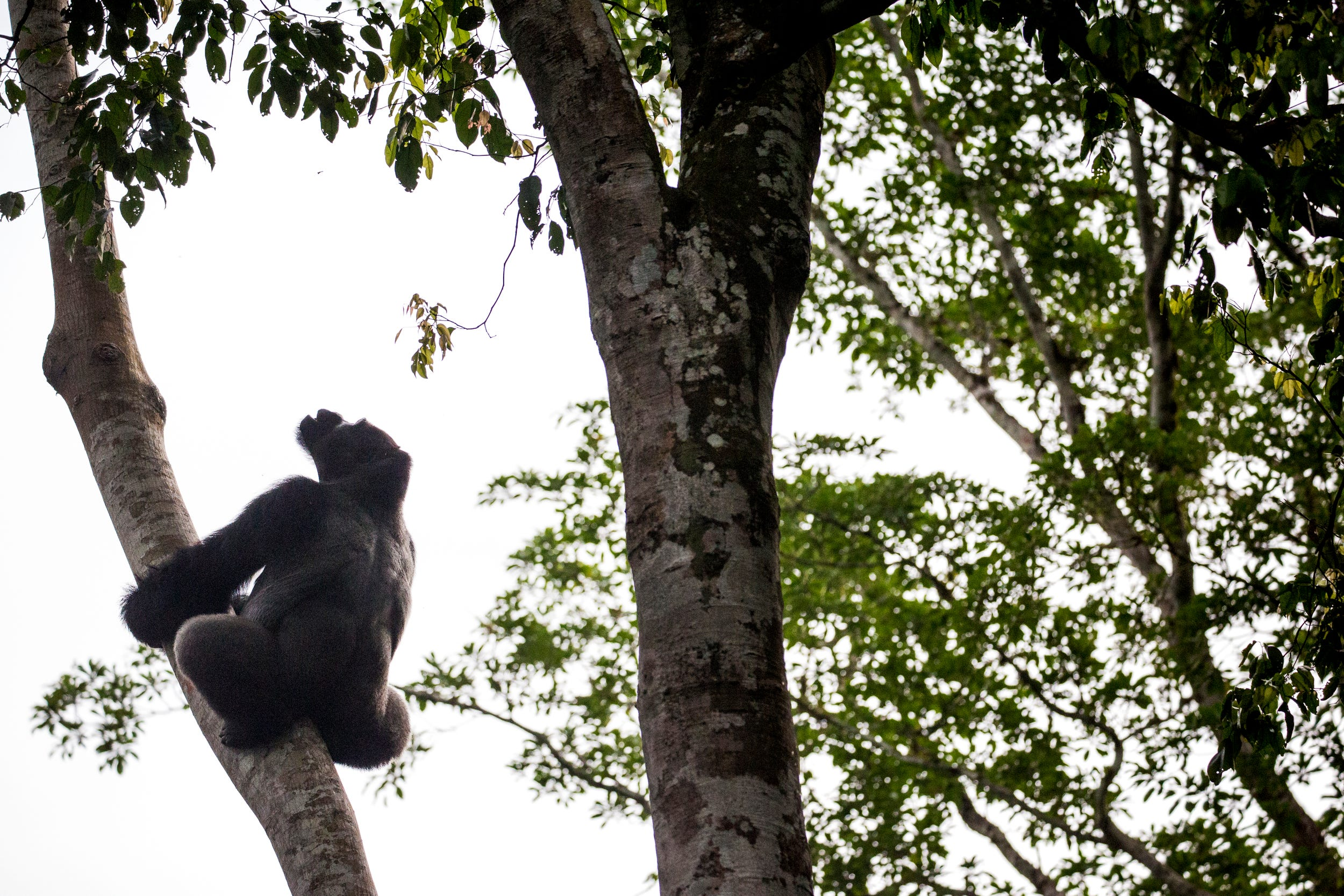Loya, a silverback gorilla, climbs a tree at the Goualougo Triangle. Researchers and trackers habituate the gorillas to human presence, so they can follow the groups to observe and record their behavior on a daily basis.