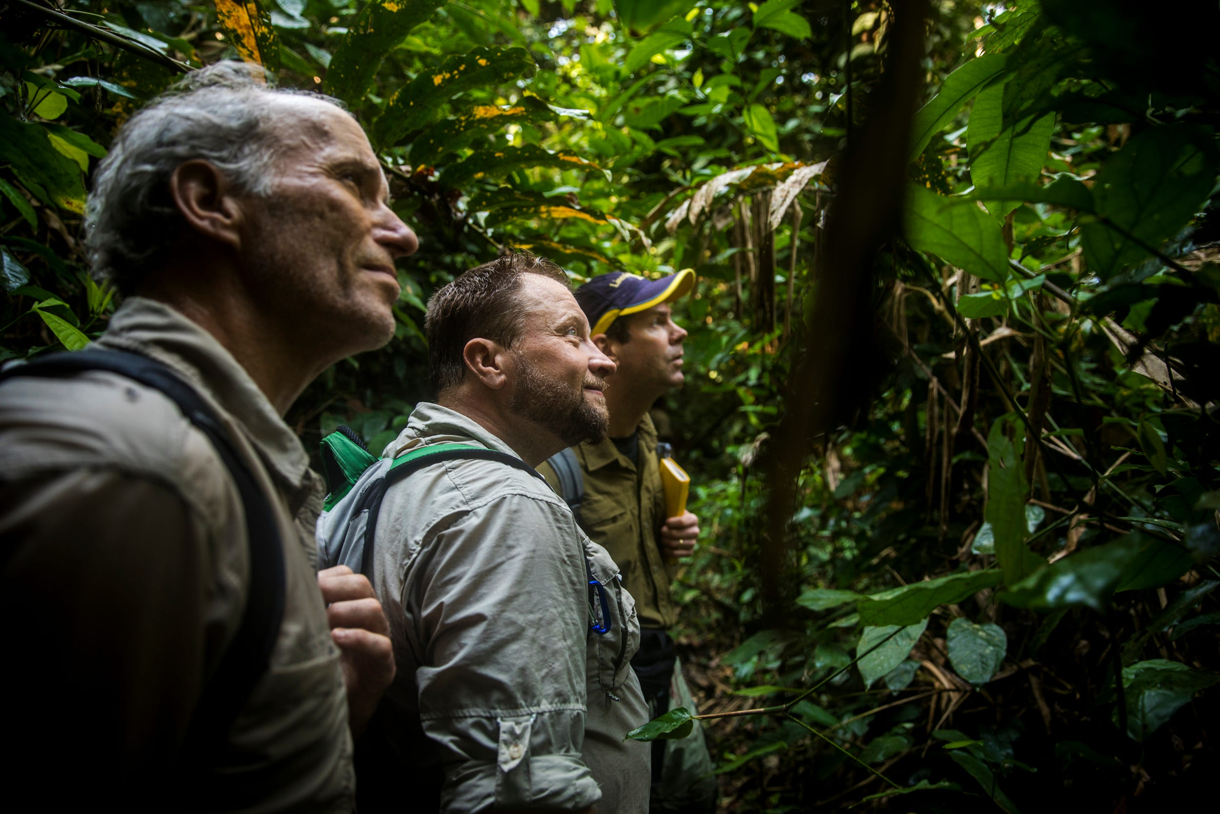 Cincinnati Zoo's Thane Maynard and Ron Evans watch a group of chimpanzees in a tree with Dave Morgan, a research fellow at the Lincoln Park Zoo, inside the Nouabalé-Ndoki National Park.