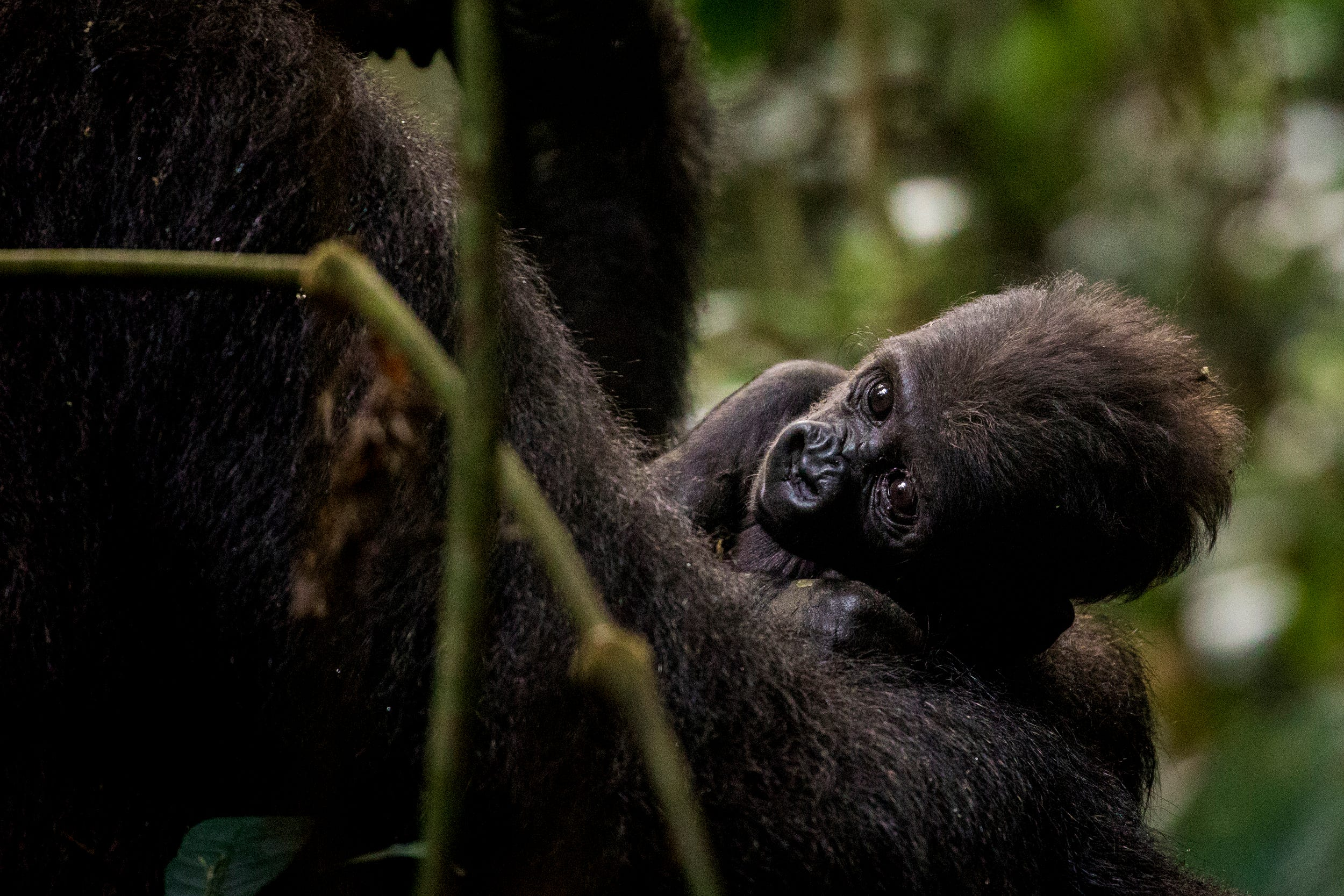 A female gorilla named Mekome holds her one-month-old baby, Tembo at the Mondika site.