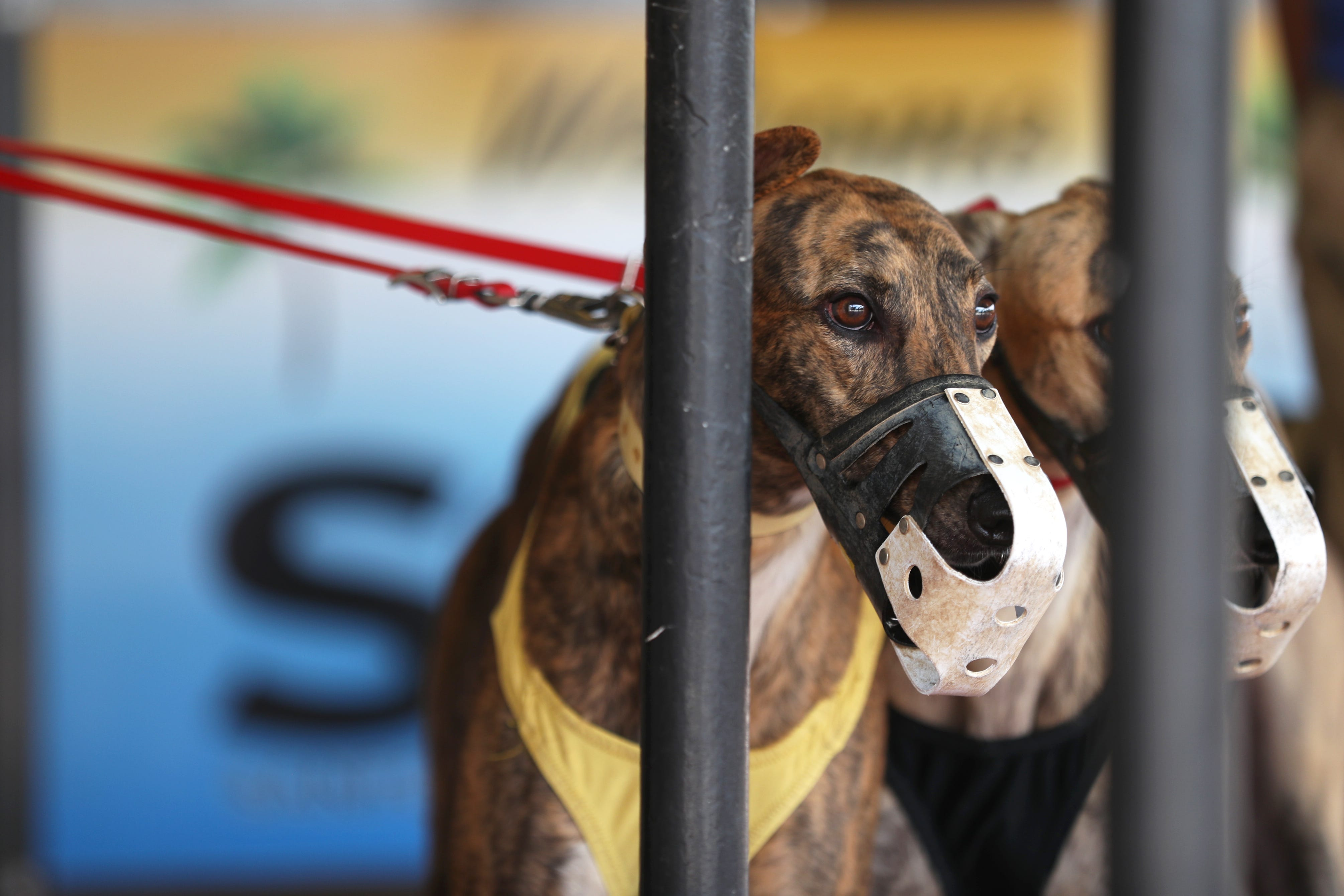 636621699660254156-Greyhounds Melbourne Greyhound Park could lose up to $250,000 per year after dog racing ban takes effect