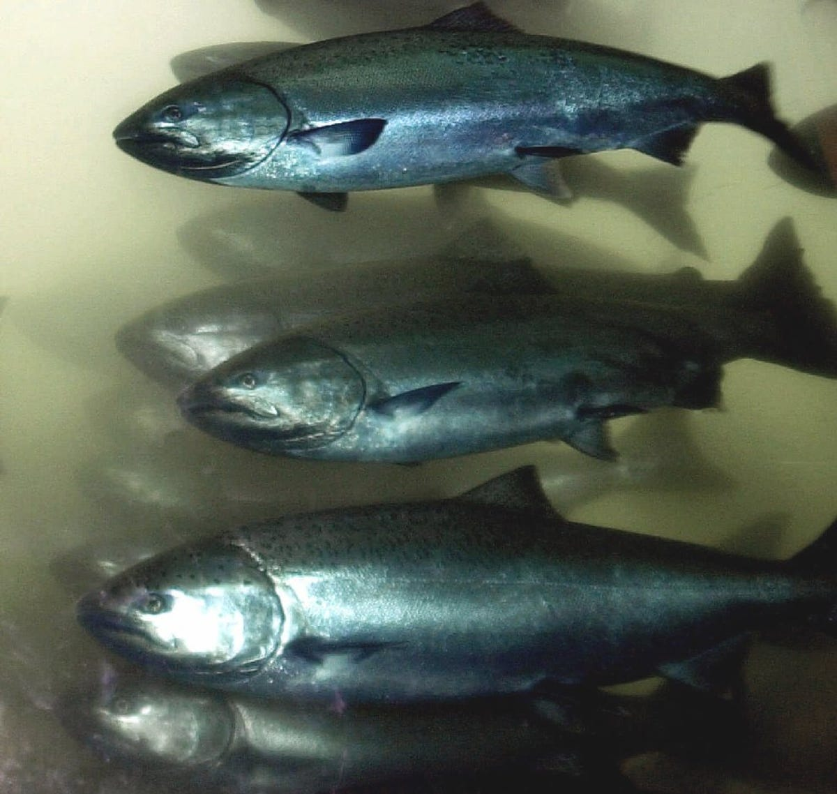 Columbia River salmon returns predicted poor, half of 10-year average