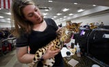 Bengal cats are now a recognized breed for the Cat Fancier's Association at the Greater Lancaster Feline Fanciers Allbreed Cat Show at the York Expo.