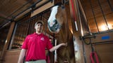 When the Budweiser Clydesdales visit the Fort Collins Anheuser-Busch Brewery.