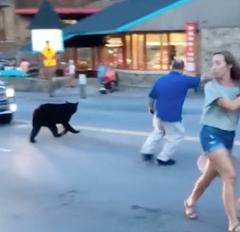 Bear runs through downtown Gatlinburg