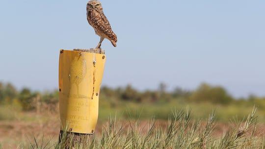 Burrowing owls escape summer heat in Coachella Valley