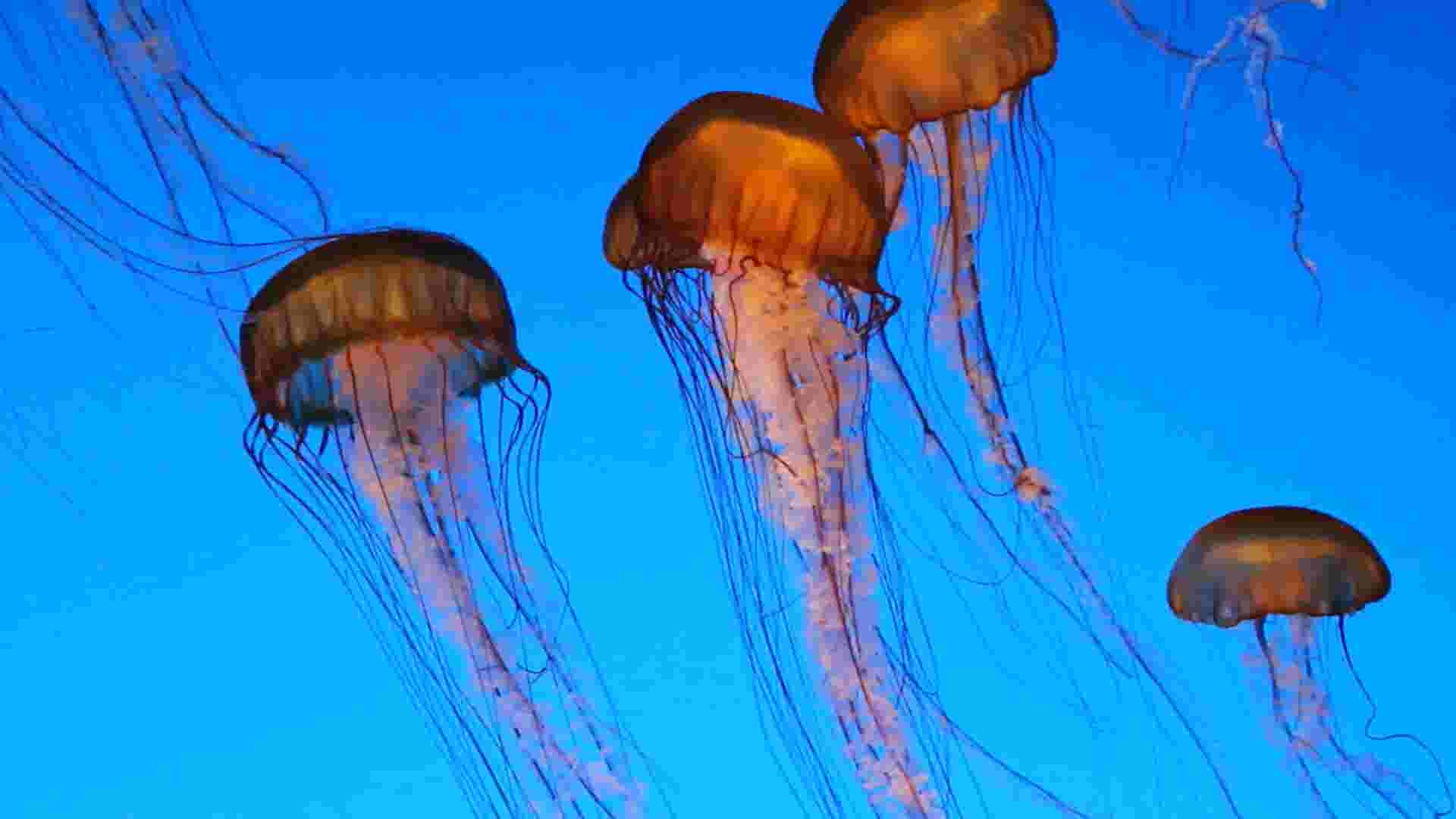Don't pee on it! Here's how you treat a jellyfish sting