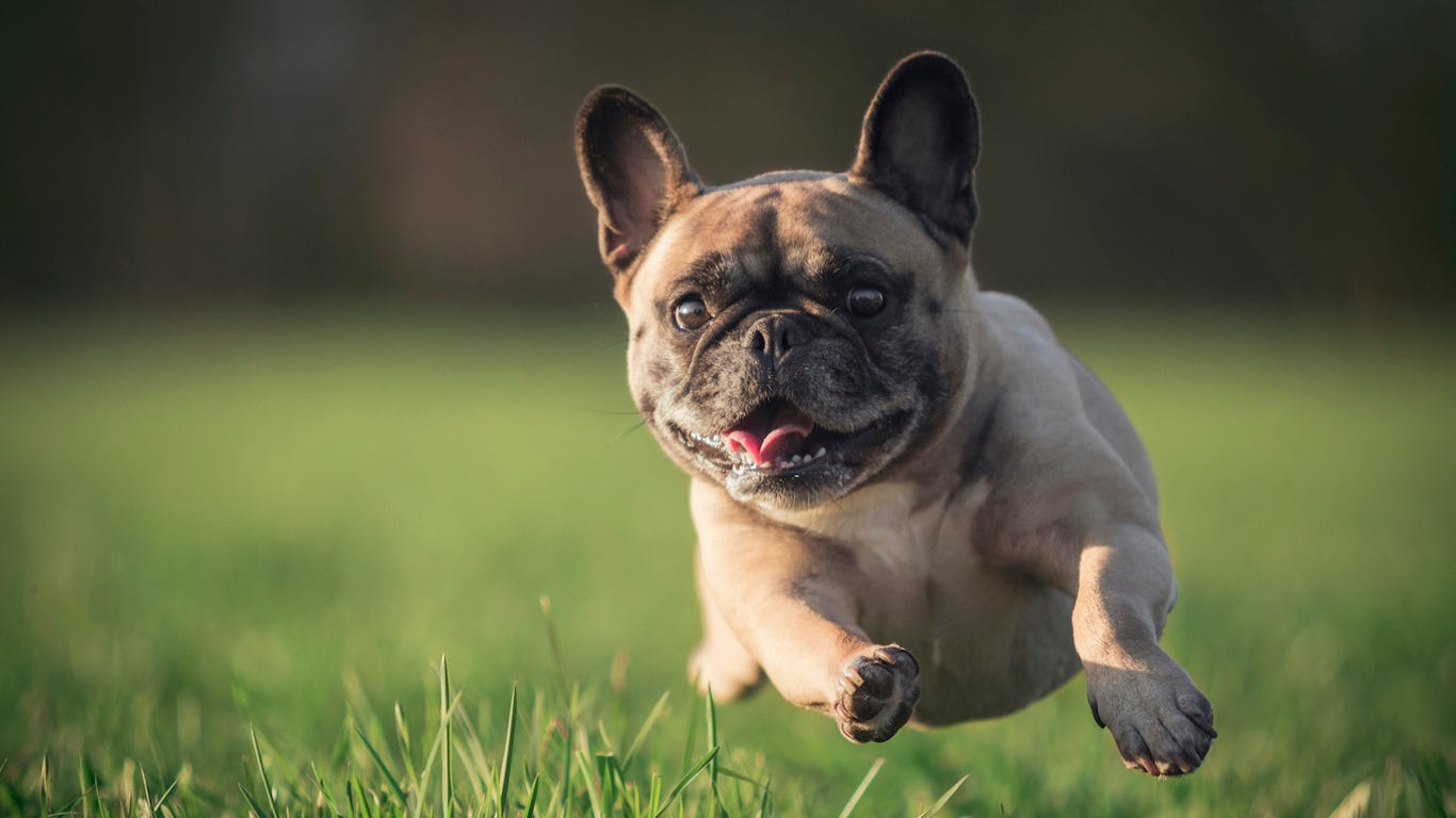 Cute Alert Most Popular Tiny Dog Breeds In America