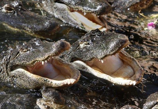 Wait, what?! Alligator found swimming in Lake Michigan