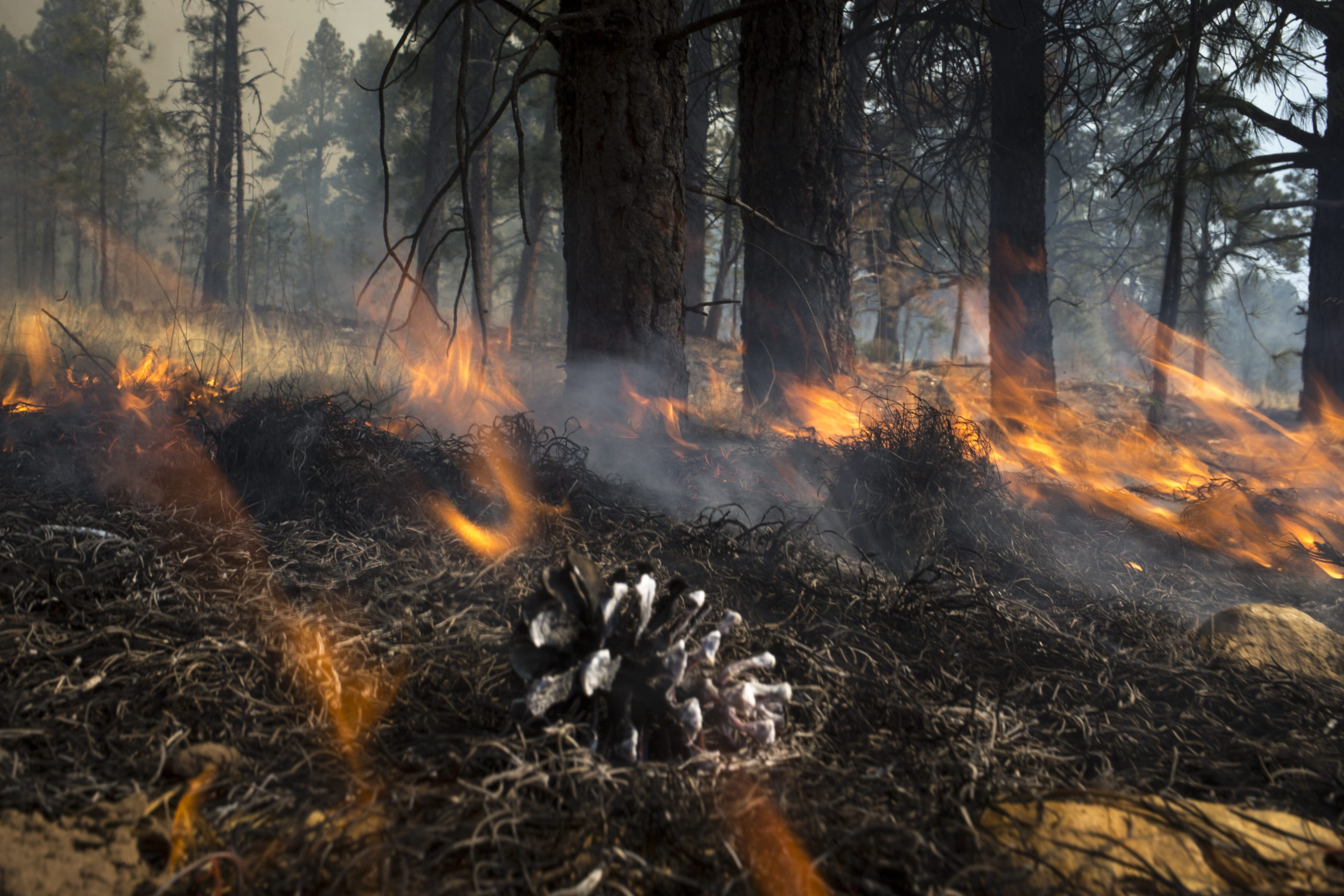 Prescribed burns are another tool in the fight to save Arizona forests. Here, in Flagstaff, controlled fires were used to clear the forest floor of fuels.