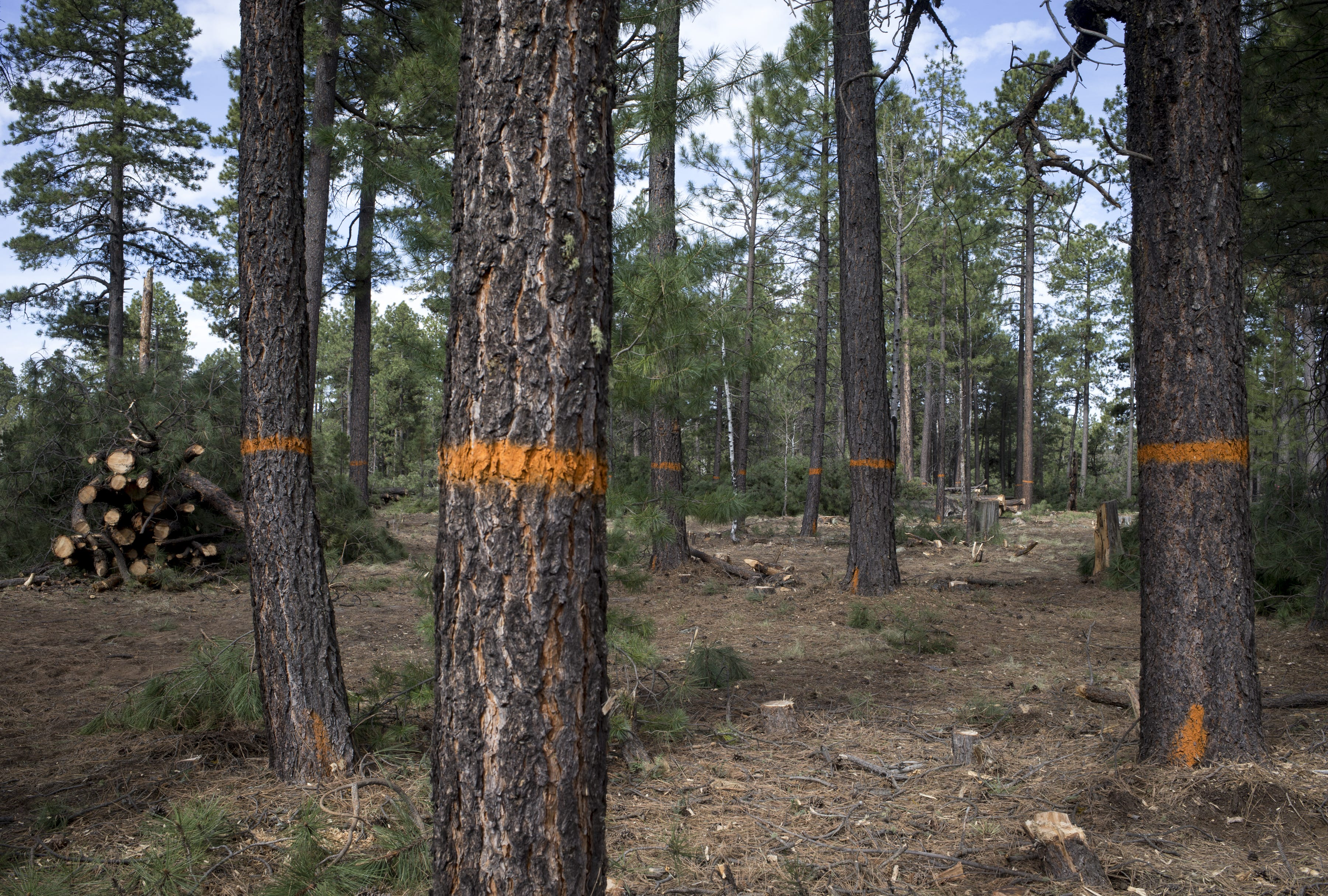 At Carr Lake in the Apache-Sitgreaves National Forests, trees of various sizes remain after clearing work. Removing both short and tall trees prevents fires from racing through the canopy.