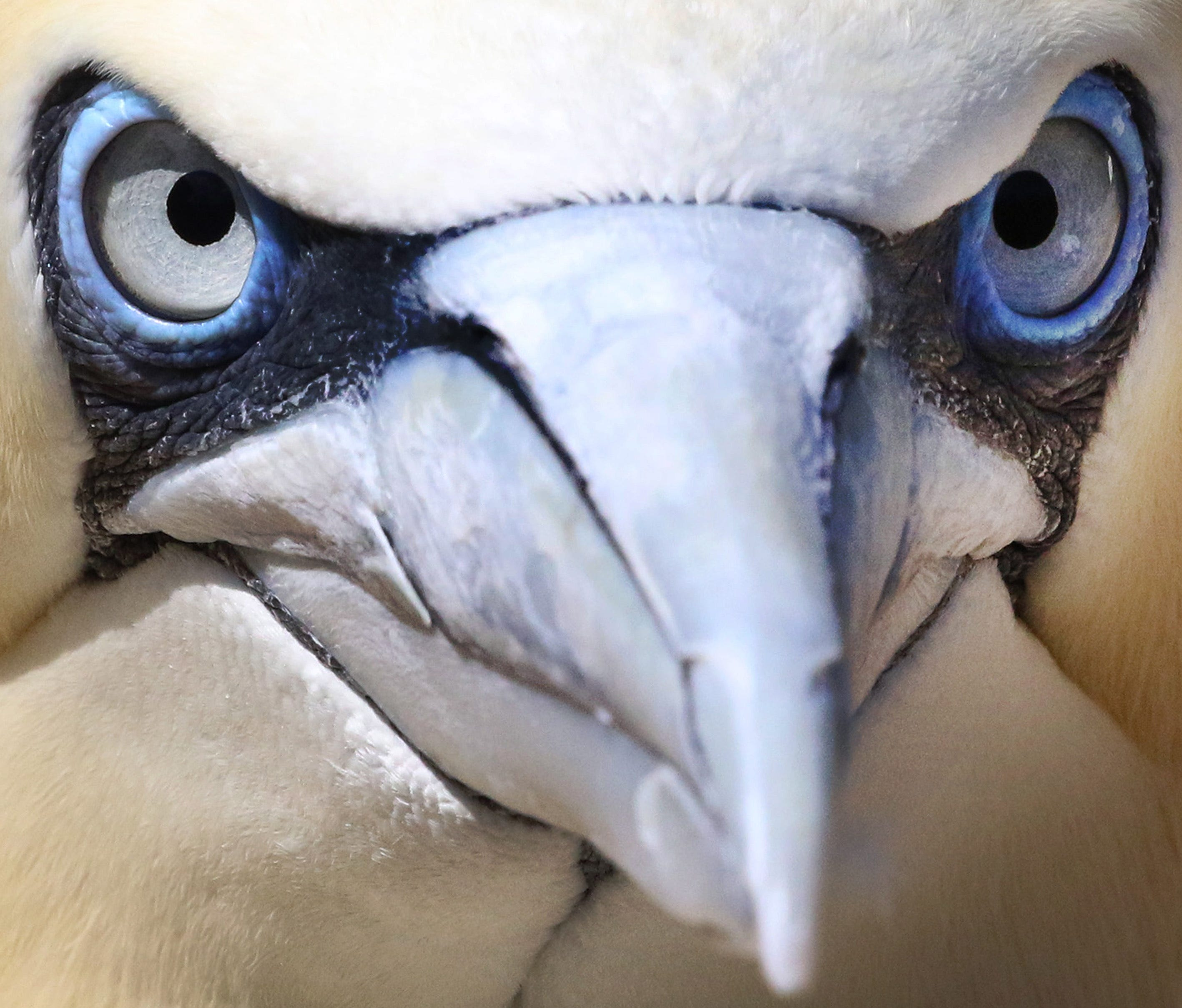 This is a Northern Gannet at the zoo of Bremerhaven in northern Germany.