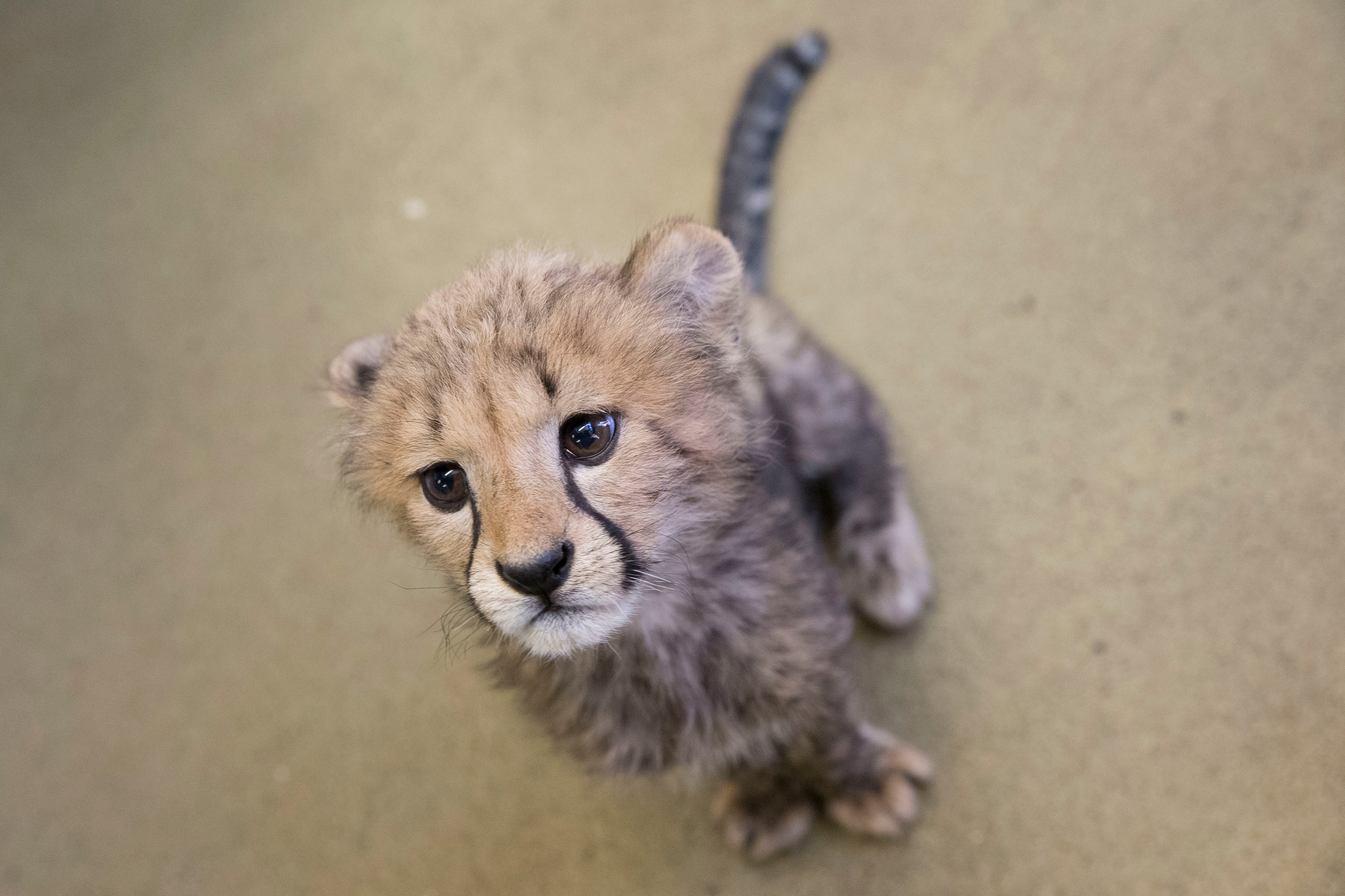 Boy reports stuffed animal missing. Rhode Island police conduct 'search and rescue,' send him a new cheetah toy | Burlington Free Press
