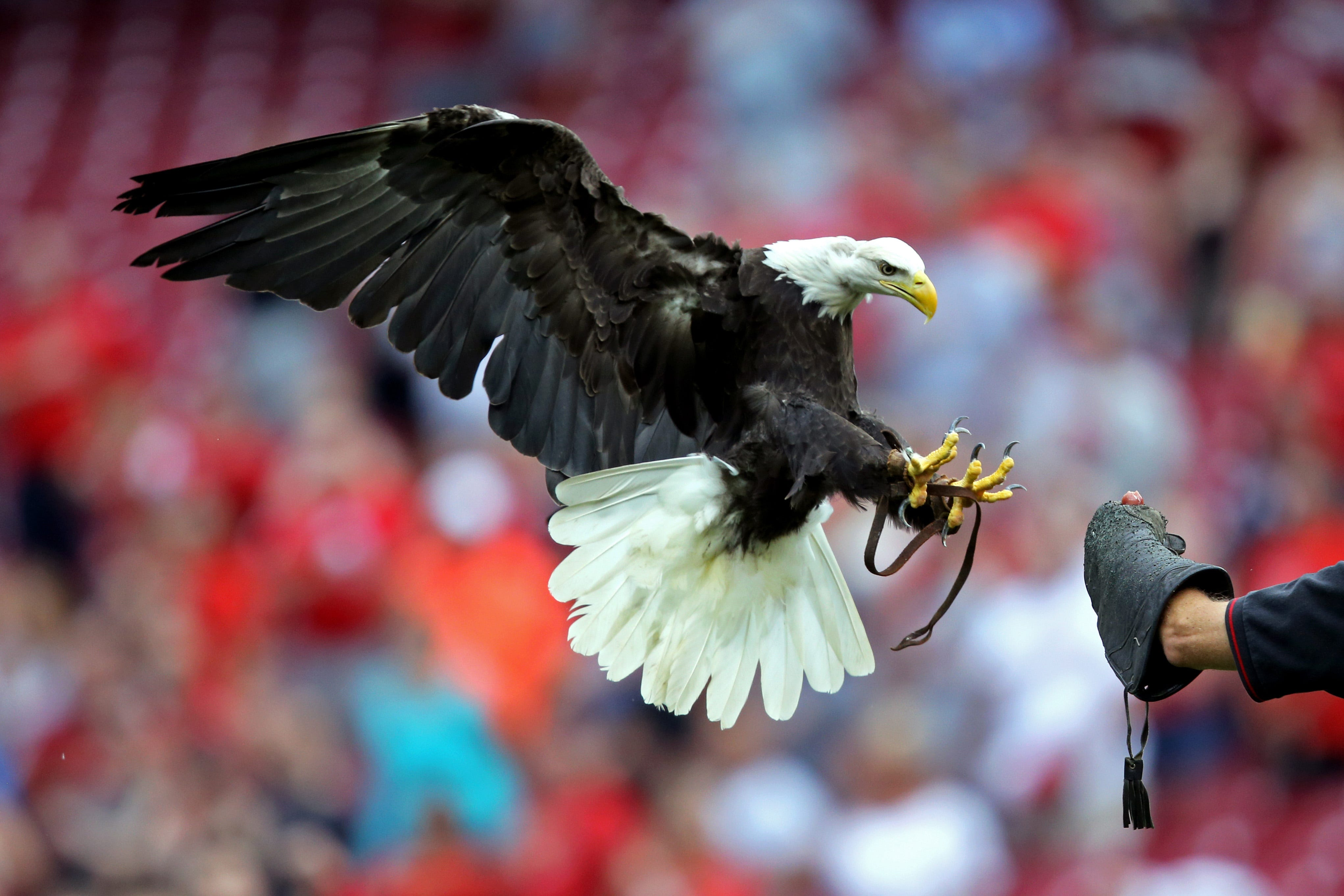 Sam the bald eagle performs during the national anthem prior to the game between the Chicago White Sox and Cincinnati Reds at Great American Ballpark.