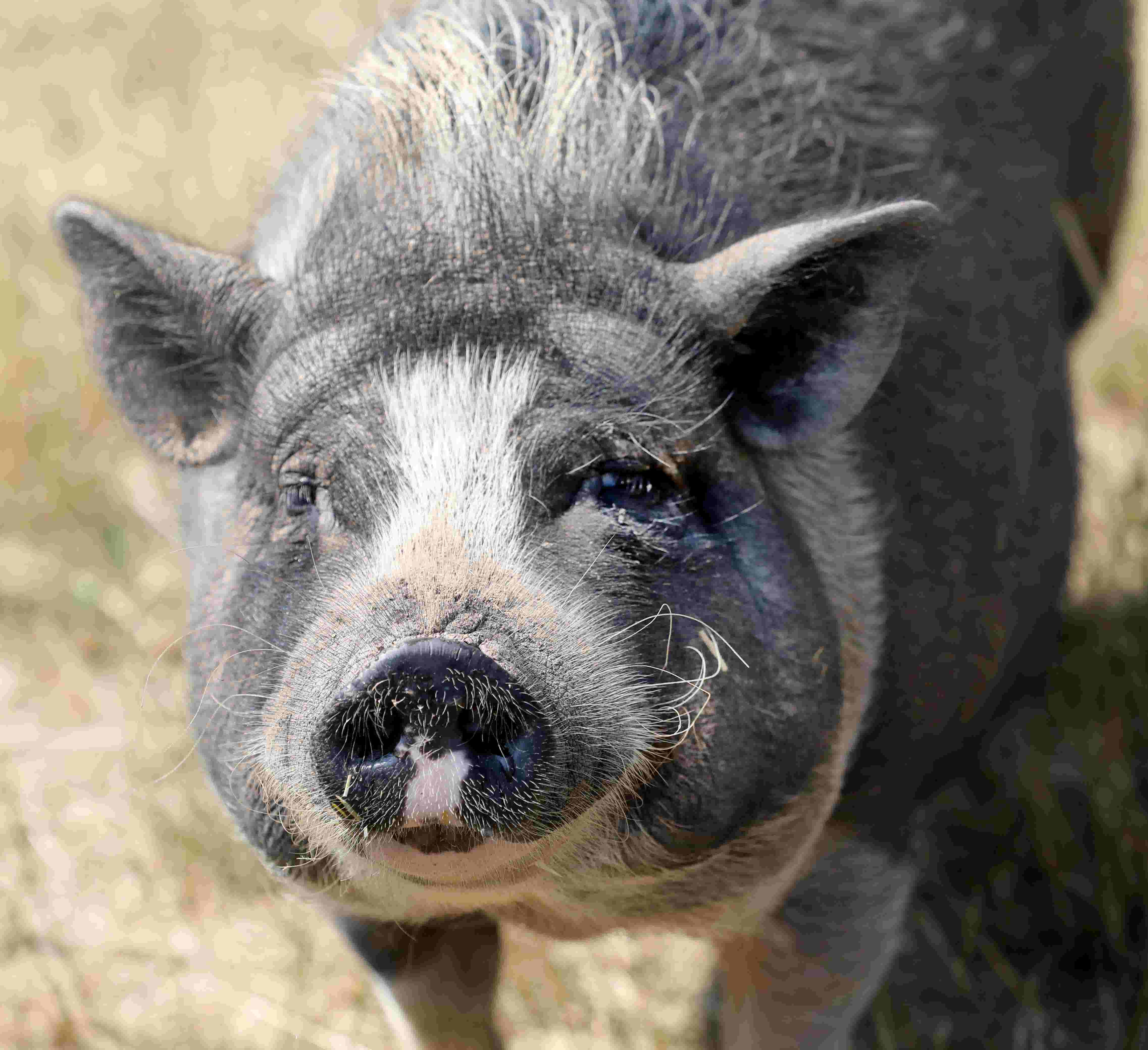 Potbellied Pigs Make Poor Picks As House Pets