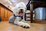 Suffering from seizures and blindness, Jude, a Old English Sheepdog, was in jeopardy of being euthanized seven months ago. He now lives a happy life.