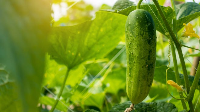 Indiana     In the Midwest, where livelihoods depend on the weather, women used to plant their squash and cucumber seed during the time period that corresponds with the third zodiac sign, Gemini, to assure a bountiful crop.