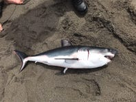 """Zombie"" salmon shark at Trinidad State Beach after it bit or brushed Redding woman"